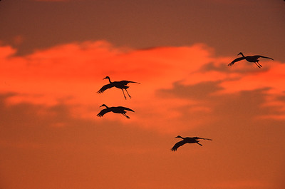 Formation of sand hill cranes in silhouette against an orange sunset sky at Bosque del Apache National Wildlife Refuge, Socorro, New Mexico.