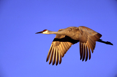 A Sandhill crane wings across a blue sky in early morning light at Bosque del Apache National Wildlife Refuge, Socorro, New Mexico.