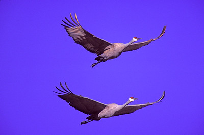 A pair of Sandhill Cranes wing across a blue sky at Bosque del Apache National Wildlife Refuge, Socorro, New Mexico.