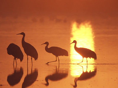 Group of Sandhill cranes in silouette wading during a foggy sunrise at Bosque del Apache National Wildlife Refuge, Socorro, New Mexico.
