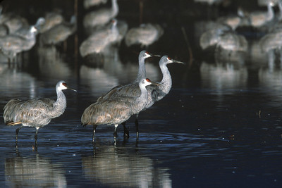 A family of Sandhill Cranes prepare for take off at Bosque del Apache National Wildlife Refuge, Socorro, New Mexico.