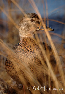 Female mallard duck, Anas platyrhynchos, in the grasses alongside the Ottawa River in Ottawa, Ontario.