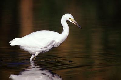 Snowy egret fishing stealth.