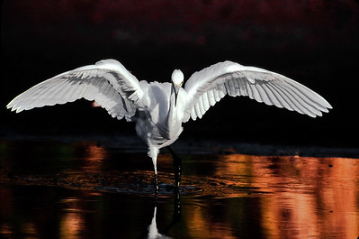 Snowy egret stretching wings while fishing