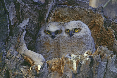 Two baby Great Horned owls with downy white feathers in hollowed out Cotton Wood tree