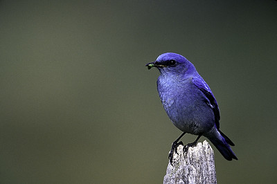 Mountain Blue Bird perches before flying to nest to feed hatchlings.