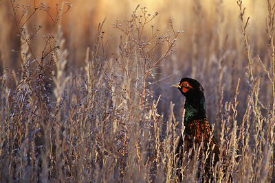 Afgahn pheasant peering above frosty grass showing only head at Bosque del Apache National Wildlife Refuge near Socorro, New Mexico.