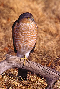 Sharp Shinned Hawk sunning.