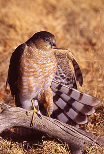 Sharp Shinned Hawk wing stretch.