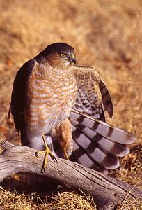 Sharp Shinned Hawk wing stretch.