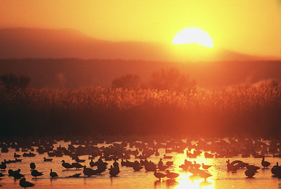 Fiery orange sunrise over pond with snow geese