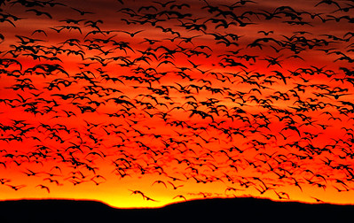 Geese and ducks launch in first light of dawn silhouetted against an orange sky with sun peeking above mountain