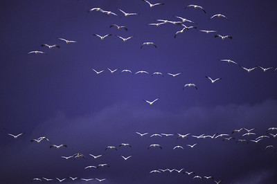 Snow goose flock flying against backdrop of dark sky