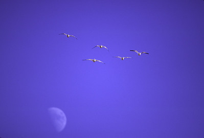 Snow geese wing across blue sky with half moon showing during daytime