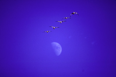 Snow Geese pass overhead against a backdrop of blue sky and a daytime half-moon.