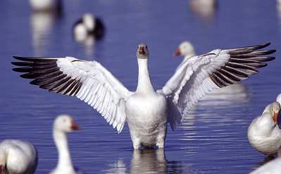 Snow goose wing stretch