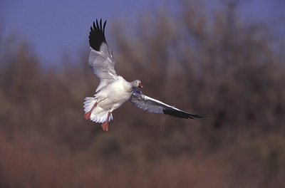 Single snow goose slowing up landing in high wind by stretching