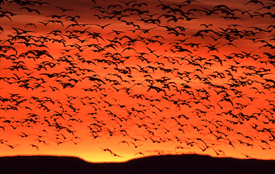 Geese and ducks lanch in first light of dawn silhouetted against an orange sky with sun peeking above mountain