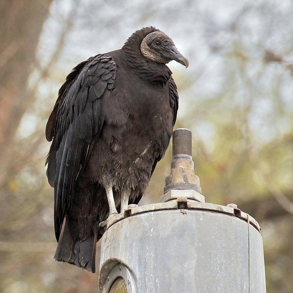Death Eater:  Black Vulture; Conowingo Dam, MD