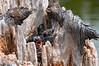 Eastern Kingbird, Tyrannus tyrannus - faces only a mother could love