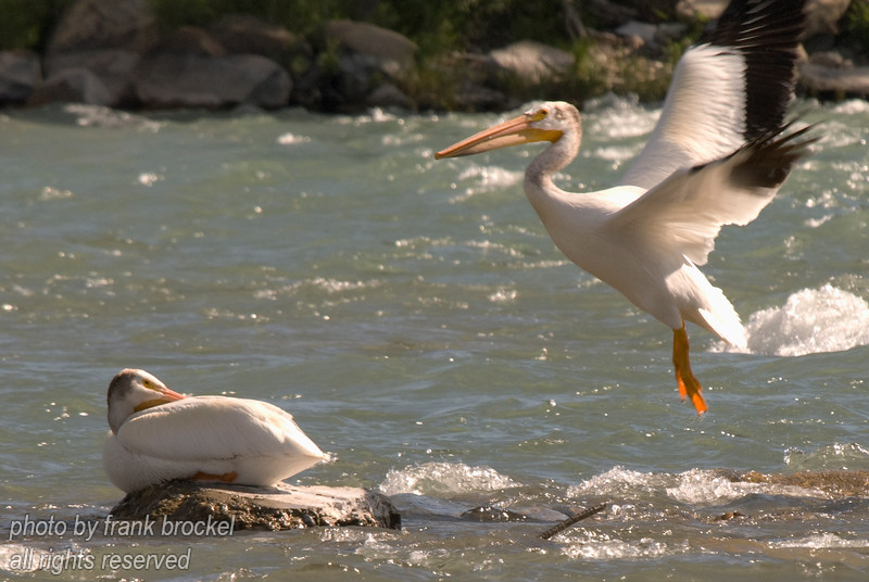 Papa is home ... Pelicans at the weir, Calgary, Alberta
