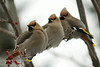 Bohemian Waxwings lined up on a branch