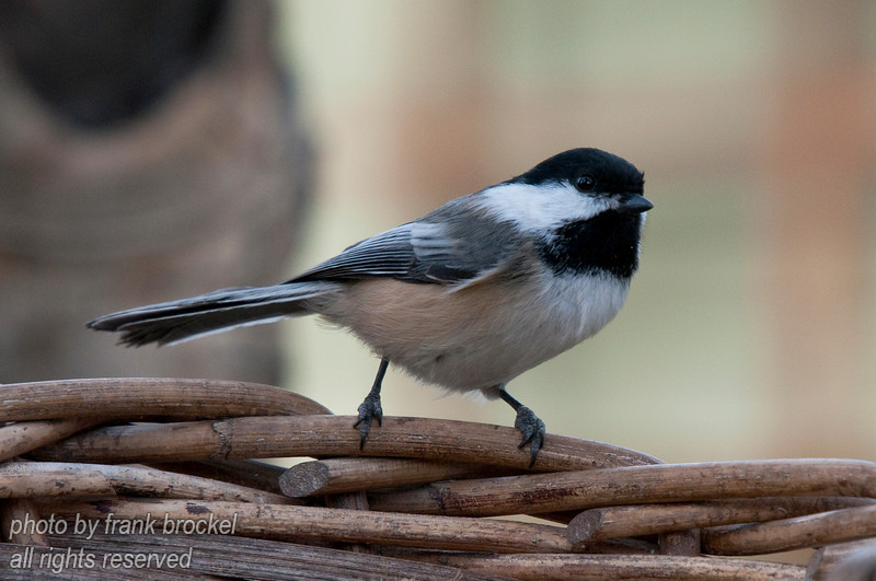A chickadee coming to feed on our feeder