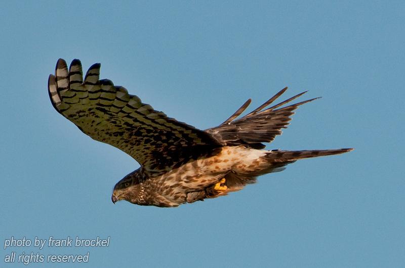 A Merlin Hawk looking for prey