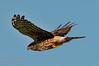 A Merlin Hawk looking for prey