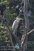 A Blue Heron (Ardea herodias) perched in a dead tree at the edge of a lake.