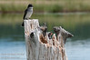The Eastern Kingbird, Tyrannus tyrannus, is a large Tyrant flycatcher.  I found a pair that have a nest in hollowed out stump in the lake.  One of adults is sitting just above the nest.