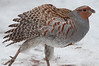 The Grey Partridge, Perdix perdix, also known as the English Partridge, Hungarian Partridge, or Hun, is a gamebird in the pheasant family Phasianidae of the order Galliformes, gallinaceous birds.  The Grey Partridge is a rotund bird, 28–32 cm long, brown-backed, with grey flanks and chest. The belly is white, usually marked with a large chestnut-brown horse-shoe