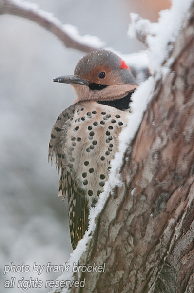 A yellow shafted flicker - photo taken thru the triple paned glass of my kitchen window - it's a bit soft