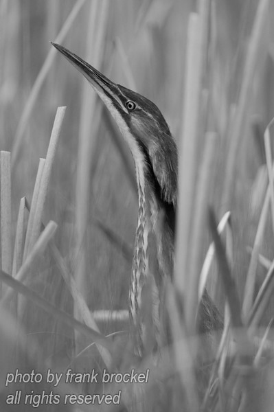 An American Bittern (Botaurus lentiginosus) in the reeds.  It was tricky to get close to this one - I used a boat.<br /> <br /> The American Bittern breeds in all of Alberta except for the mountains. It is confined to extensive cat-tail marshes and bulrush stands. It winters in southern and coastal U.S.A.<br /> <br /> It arrives around the beginning of May, and leaves by early October. Because of its liking for impenetrable habitats, it is more often heard than seen