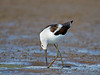 American avocet, Rankin Bottoms