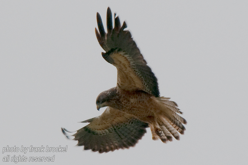 A Merlin hawk ready to pounce on prey
