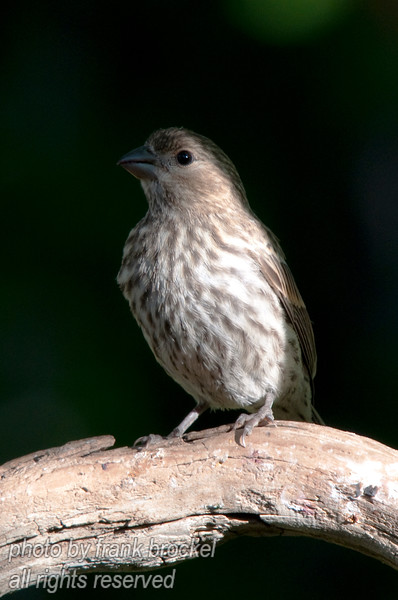 A house finch on a branch
