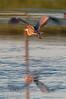 This Blue Heron (Ardea herodias) was perfectly positioned on a mud bank in the middle of a large slew.  Of course ... once you get out of the vehicle and aim a lens his way he takes off.  Still ... not too bad a shot I figure.