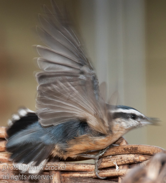 Red breasted Nuthatch - not a perfect shot but I couldn't resist