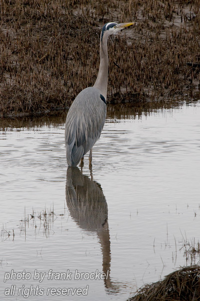 The Great Blue Heron (Ardea herodias) is a large wading bird in the heron family Ardeidae, common near the shores of open water and in wetlands.<br /> This one is fishing for small fish and frogs in the tidal flats near Comox, B.C.
