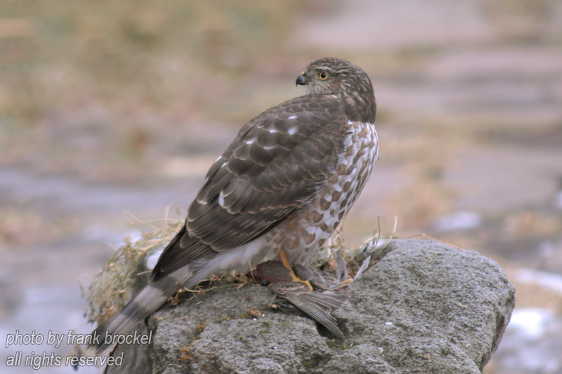 A Merlin hawk with a sparrow in it's claws.<br /> The Merlin (Falco columbarius) is a small type of falcon from the Northern Hemisphere. A bird of prey sometimes known colloquially as a pigeon hawk in North America