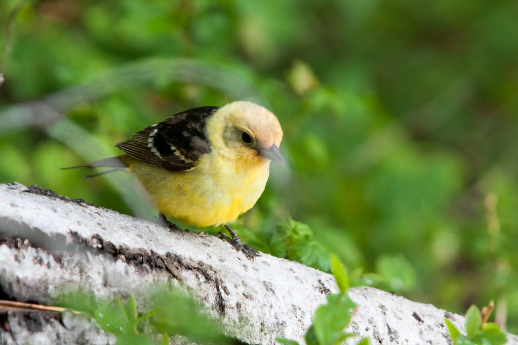 Western Tanager on the Henry's Fork river, Targhee NF, ID<br /> <br /> © Kirk Sagers