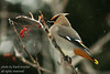 Bohemian Cedar Waxwings on a Mount Ash tree looking for berries