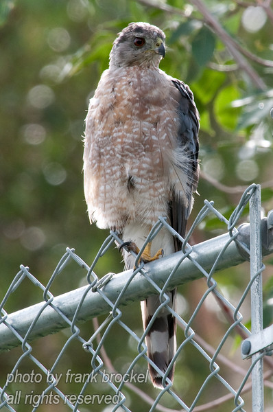 A young Merlin sitting on the fence above my backyard eyeing the sparrows on my bird feeder.  Sometimes he gets one - see previous shot.
