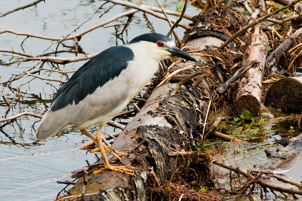 Black-Crowned Night-Heron on the Henry's Fork river, Targhee NF, ID<br /> <br /> © Kirk Sagers