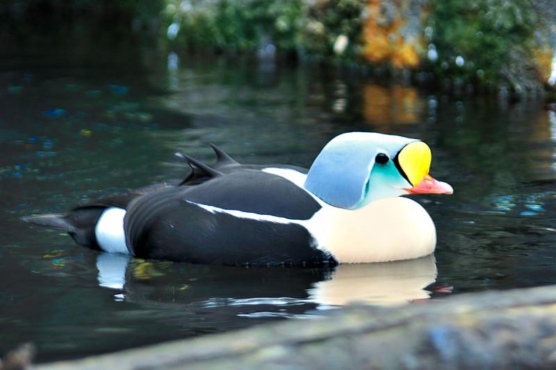 I'm So Pretty; King Eider Duck; Alaska