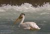Pelicans at the weir, Calgary, Alberta