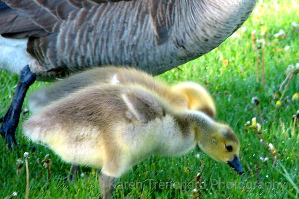 Downy Goslings