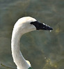 Fuzzy Face; Trumpeter Swan, The Wilds, Cumberland, OH