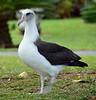 Albatross:  Kauai, HI